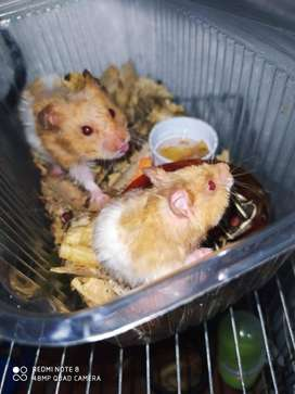 Ultimos Hamster de 35 dias