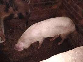 Vendo 2 Cerdos x motivo de viaje