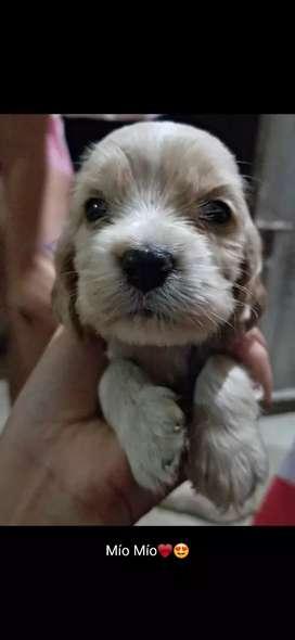 Se venden cachorros