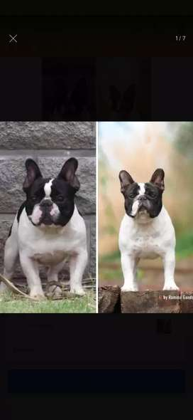 Excelente cachorro bulldog francés disponible