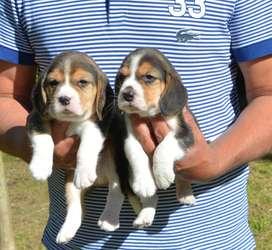 Beagle Los Mejores del Sitio