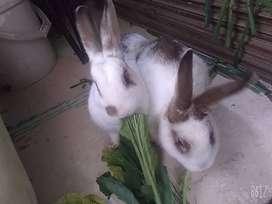 Se venden 3 conejos .