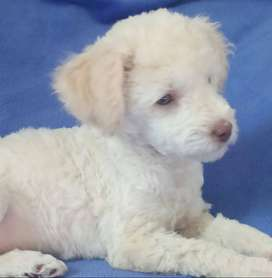caniche toy hembra 4 meses