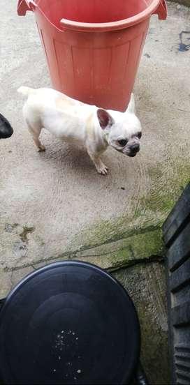 Bulldog busca NOVIO