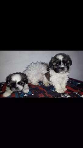 Bonitos y pequeños cachorros shih tzu a la venta