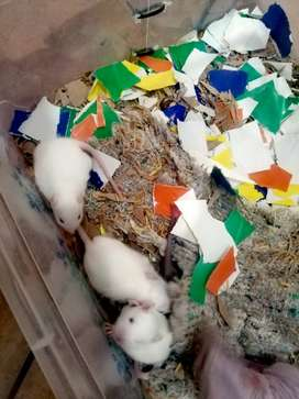 Hermosas Ratas