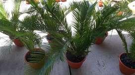 Vendo palmeras cica revoluta