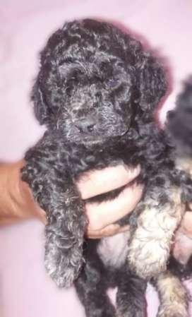 Caniche hembrita negra disponible