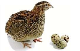 Codorniz ponedora de huevos