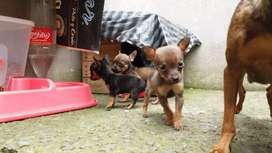 Vendo cachorros Pinscher $ 80 machos