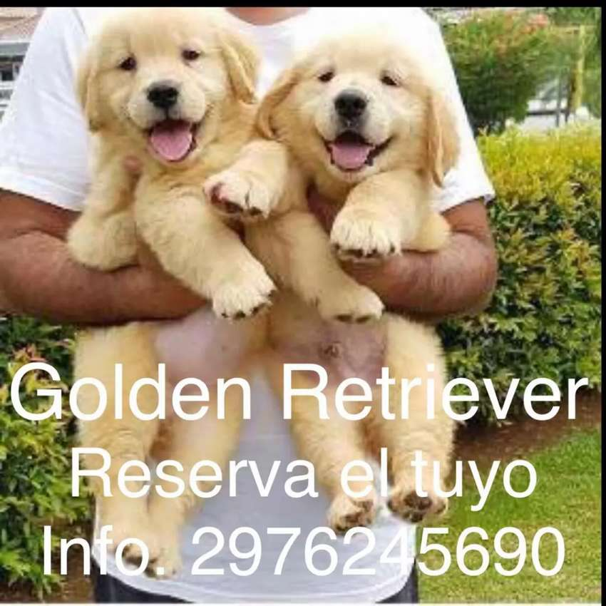 Golden Retrivier últimos cachorros soy de Chubut 0