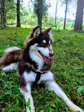 Husky siberiano macho manto rojo (heterocromia ) para Monta