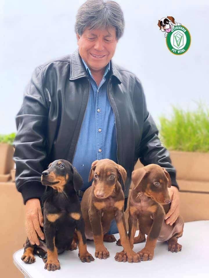 Doberman cachorros en Pet Vital