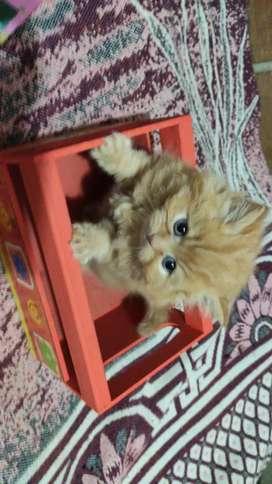 Se vende lindo gatico persa