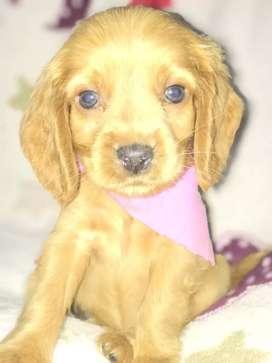 Hermosa cachorra Cocker Spaniel