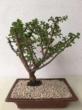 Espectaculares bonsai jade