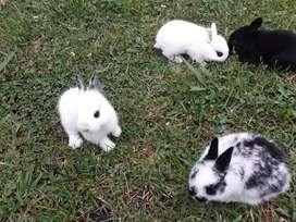 Conejos enano comun y criollos