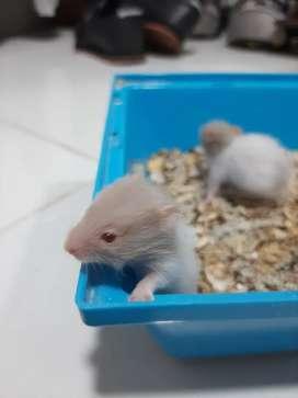 Hamster Sirio Angora bebes