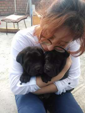 Vendo cachorros  de raza sharpei chino hembras