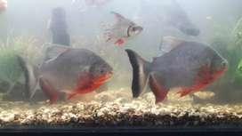 pez cachama alvina y comun