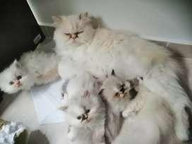 Gatos Persa