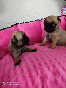 Cachorro Pugs 48 días nacido