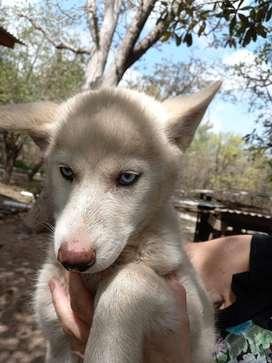Cachorra husky siberiana