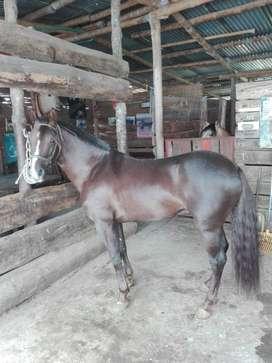 Se vende caballo trochador galopero