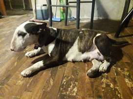 Bull terrier hembra adulta