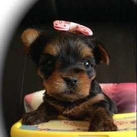 perritos hermosos de raza yorkshire terrier mascota mini atura muy buena compañia