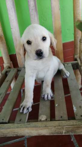 Labrador hembra