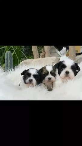 Originales cachorros  shih tzu entrega de la certificación