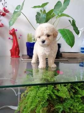 Linda french poodle 48 días de nacida