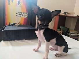 Perro pincher macho tricolor