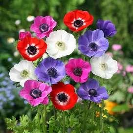semillas de anemone anemona