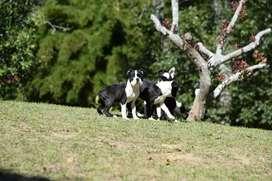 Boston Terrier de Cancan Mascotas
