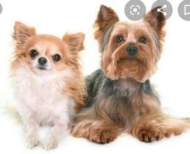 Se Cuidan Perros de Raza Pequeña