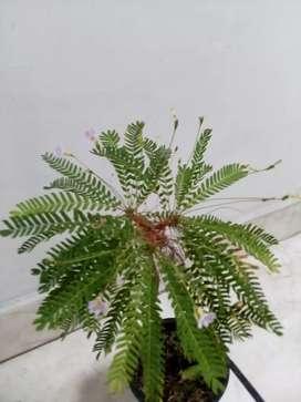 Palmitas decorativas Naturales