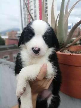 Hermosos cachorros border collie