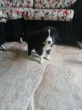 Atractivos cachorros border collie