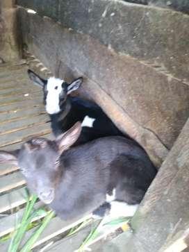 Vendo pareja de cabras( macho y hembra)