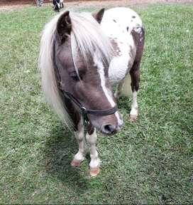 Caballo mini horse