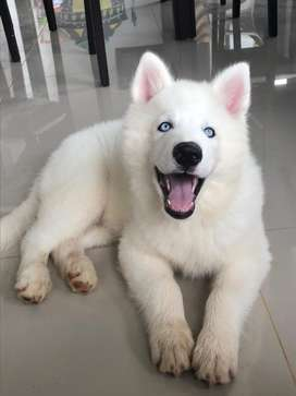 Hermoso lobo siberiano, 4 meses