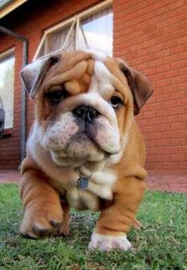 divinos bulldog ingles gordos de gran arruga y diferentes colores