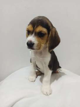 Hembra beagles