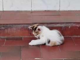 Se dan en adopción a lindos gatitos
