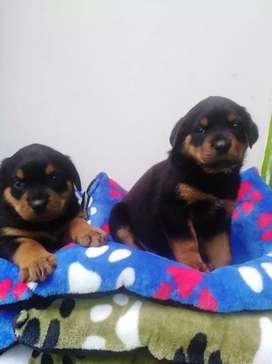 Se venden Cachorros Rottweiler