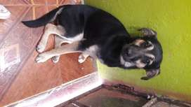 cachorra pastora cruzada con pitbull