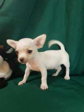 Chihuahua macho blanco belloo