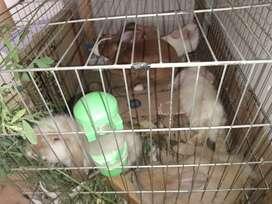 Se venden conejos minilop y mini Rex